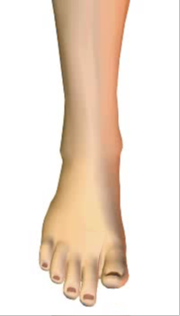 Toes extension (4) By Extensor Digitorum Longus Muscle