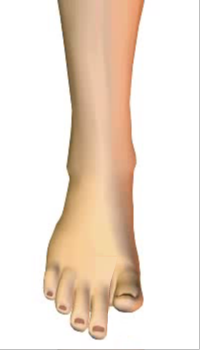 Toes extension (5) By Extensor Digitorum Longus Muscle
