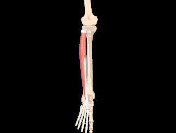 Extensor Digitorum Longus Muscle - Featured