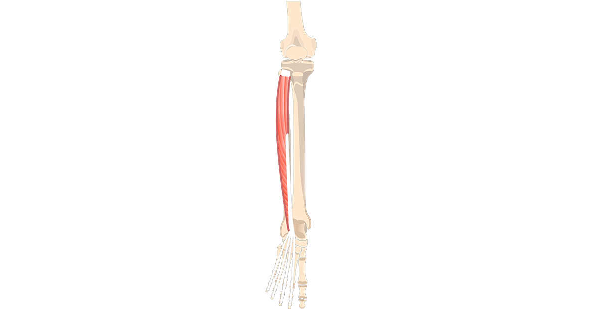 Extensor Digitorum Longus Muscle - Featured