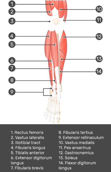 Extensor Digitorum Longus Muscle - Test yourself 1