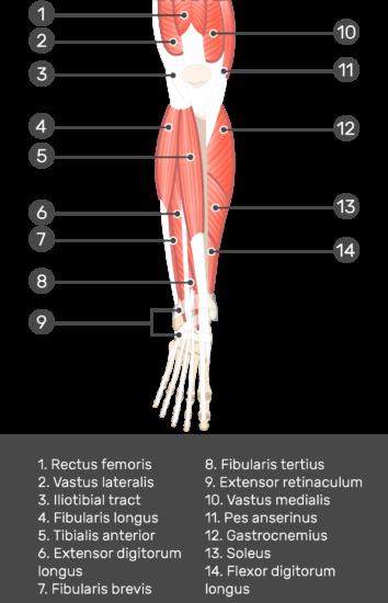 Extensor Digitorum Longus Muscle - Test yourself 1
