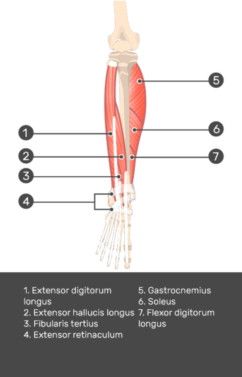 Extensor Digitorum Longus Muscle - Test yourself 10