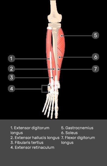 Extensor Digitorum Longus Muscle - Test yourself 10