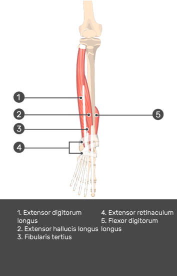 Extensor Digitorum Longus Muscle - Test yourself 12