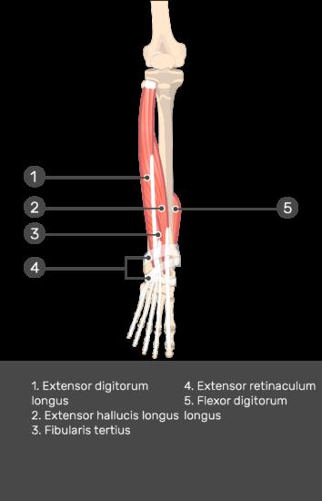 Extensor Digitorum Longus Muscle - Test yourself 12