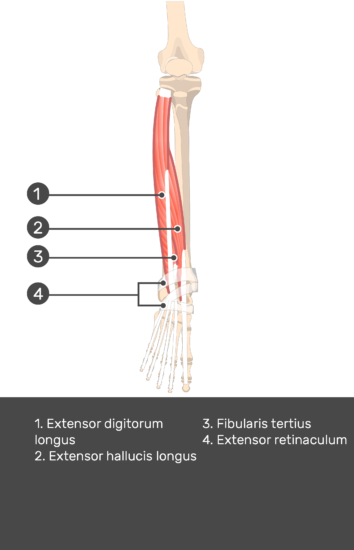 Extensor Digitorum Longus Muscle - Test yourself 13