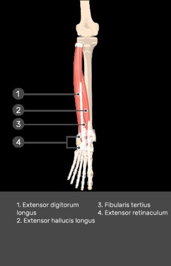 Extensor Digitorum Longus Muscle - Test yourself 13