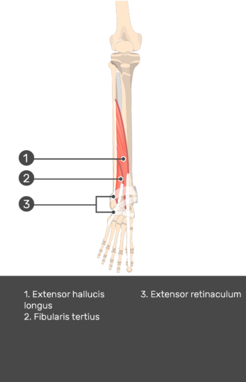 Extensor Digitorum Longus Muscle - Test yourself 14