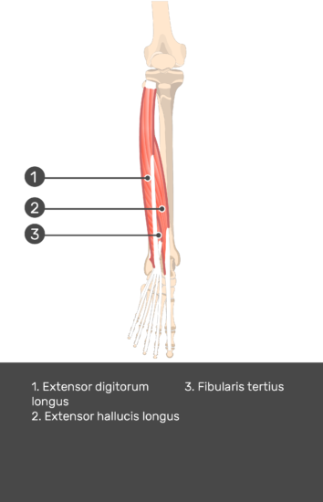 Extensor Digitorum Longus Muscle - Test yourself 14