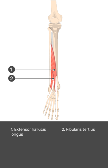 Extensor Digitorum Longus Muscle - Test yourself 15