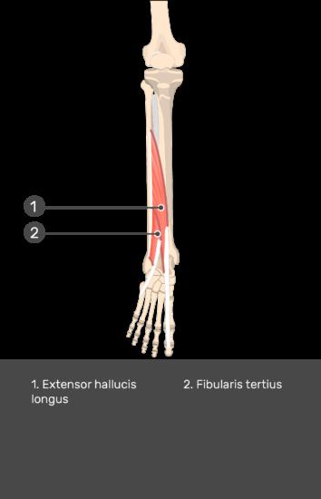 Extensor Digitorum Longus Muscle - Test yourself 15