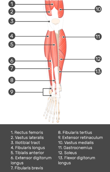 Extensor Digitorum Longus Muscle - Test yourself 2