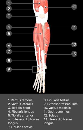 Extensor Digitorum Longus Muscle - Test yourself 2