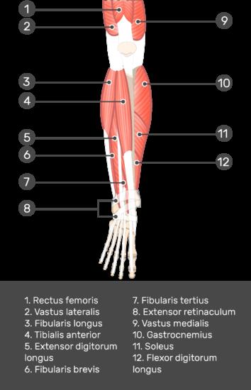 Extensor Digitorum Longus Muscle - Test yourself 3