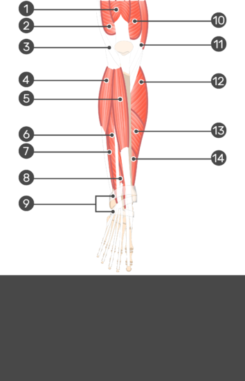 Extensor Digitorum Longus Muscle - Test yourself 16