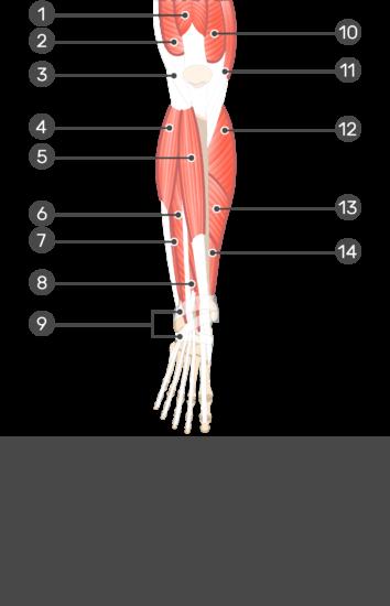 Extensor Digitorum Longus Muscle - Test yourself