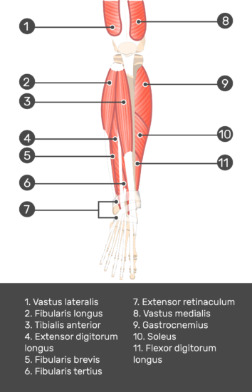 Extensor Digitorum Longus Muscle - Test yourself 5