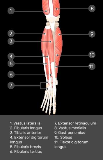 Extensor Digitorum Longus Muscle - Test yourself 5