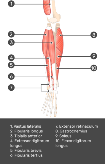 Extensor Digitorum Longus Muscle - Test yourself 6