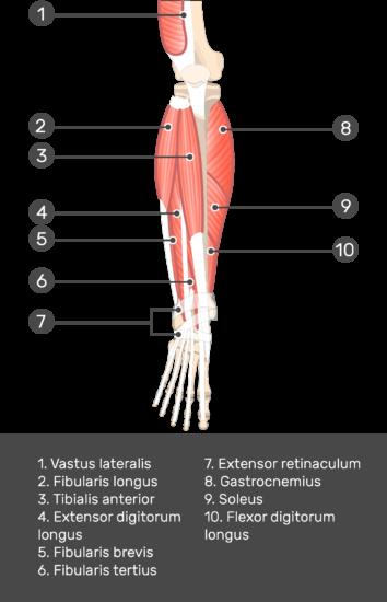 Extensor Digitorum Longus Muscle - Test yourself 6
