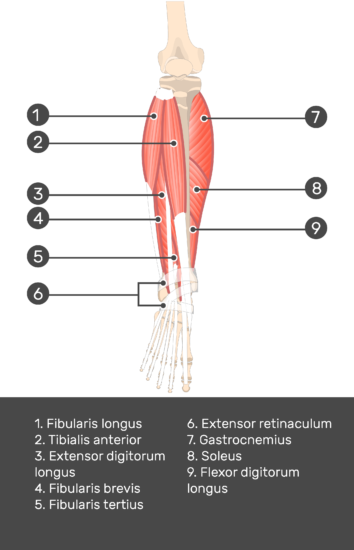 Extensor Digitorum Longus Muscle - Test yourself 7