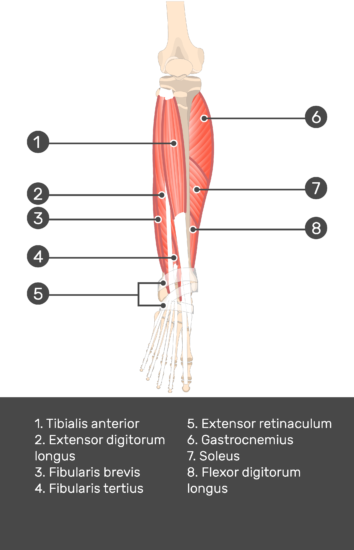Extensor Digitorum Longus Muscle - Test yourself 8