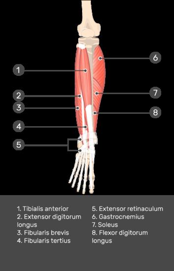 Extensor Digitorum Longus Muscle - Test yourself 8