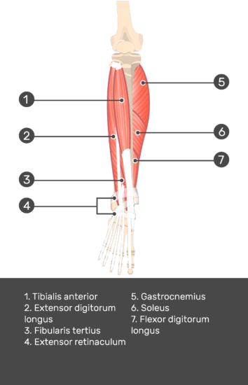 Extensor Digitorum Longus Muscle - Test yourself 9