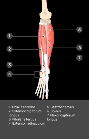 Extensor Digitorum Longus Muscle - Test yourself 9
