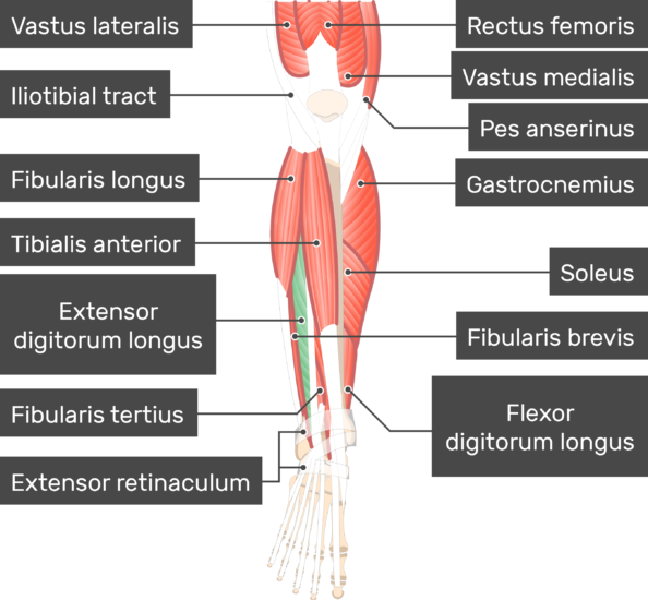 Extensor Digitorum Longus Muscle with other attached muscle attach to the skeleton of the lower limb