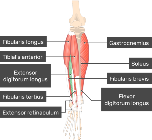 Extensor Digitorum Longus Muscle highlighted with other attached muscle attach to the skeleton of the lower limb