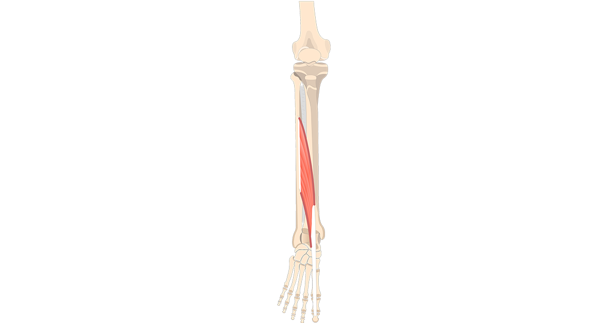 Extensor Hallucis Longus Muscle - Featured
