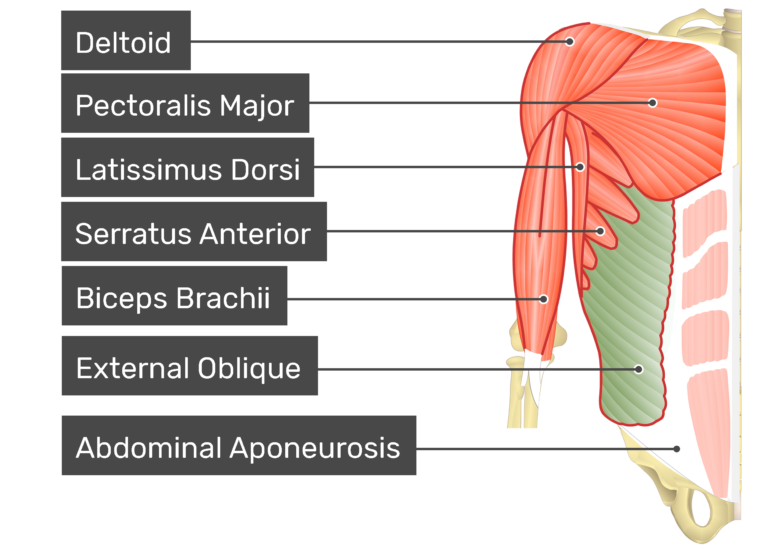 External oblique muscle with labels: Deltoid, latissimus dorsi, external oblique, biceps brachii, abdominal aponeurosis, pectoralis major, serratus anterior