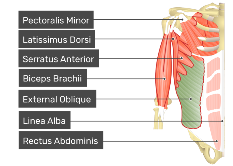 External oblique muscle with labels: Pectoralis minor, latissimus dorsi, external oblique, biceps brachii, rectus abdominis, serratus anterior, Linea alba