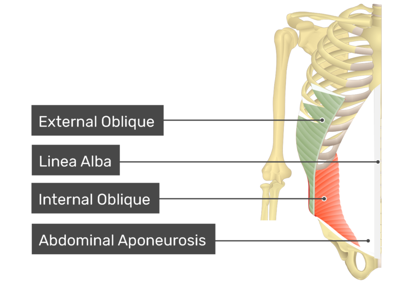 External oblique muscle with labels: external oblique, linea alba, internal oblique, abdominal aponeurosis