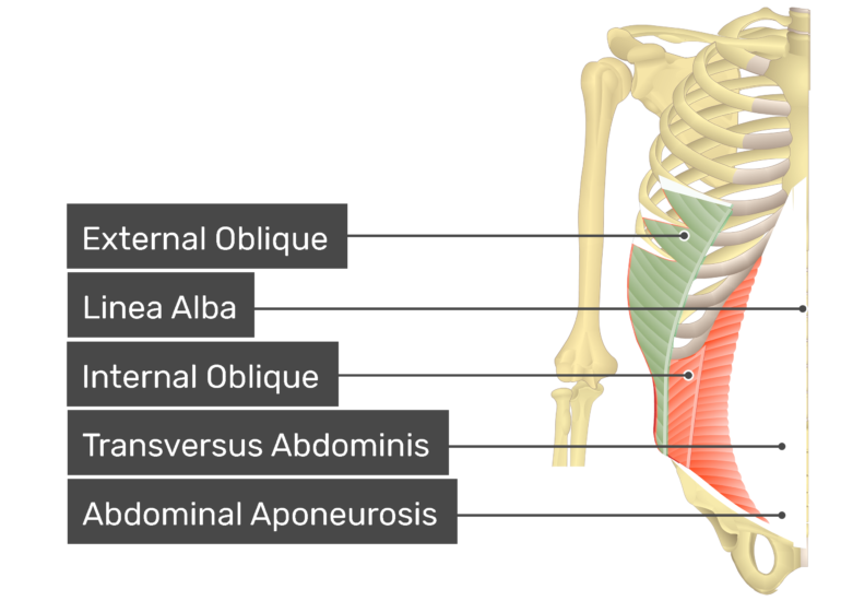 External oblique muscle with labels: external oblique, linea alba, internal oblique, transversus abdominis, abdominal aponeurosis