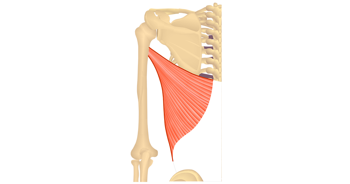 Latissimus Dorsi – Attachments & Action
