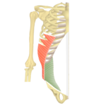 The internal oblique highlighted
