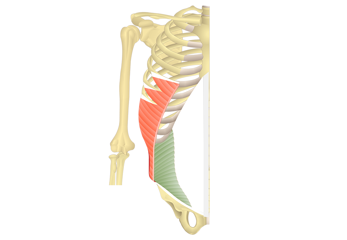 Internal Oblique Muscle