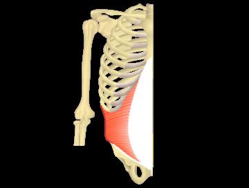 Transversus abdominis Featured Image