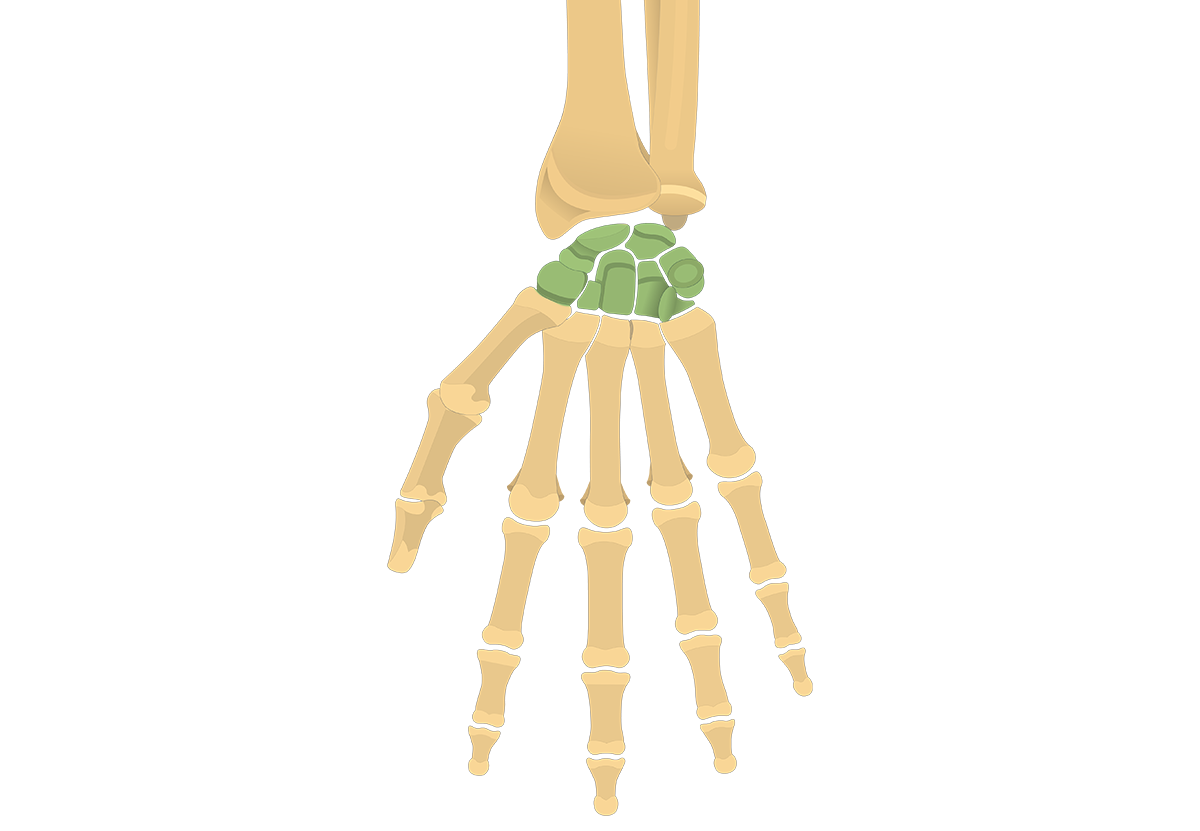 Carpal Bones: Anterior (Palmar) View
