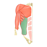 Featured Image External Oblique with highlighted muscle