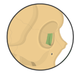 Lacrimal Bone Anatomy