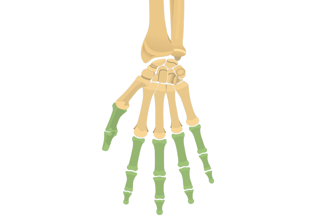 Anterior view of the hand with the phalanx highlighted