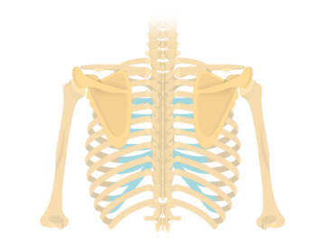 Posterior view of scapula and faded back skeleton