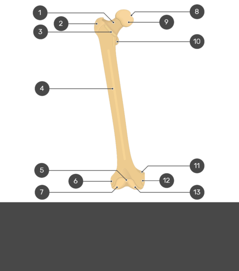 Femur Bone - Anterior View - Test yourself