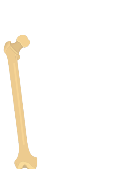 Femur bone - Proximal end