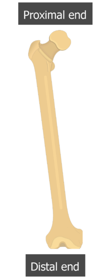 Femur bone - Shaft