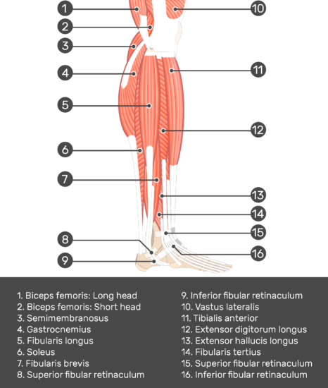 Lateral view of the lower limb - Fibularis (Peroneus) Brevis Muscle - Test yourself 1